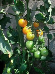 Sun Sugar cherry tomato